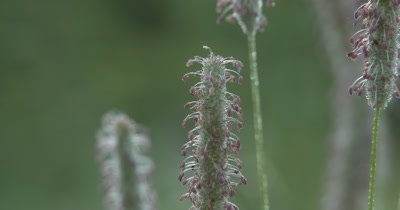 Grass Seed Head, pink Seeds, Dew Drops