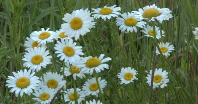 Wild Daisy Flowers With Morning Dew on Petals