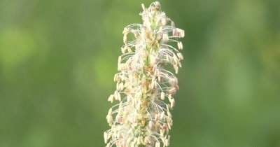 Grass Seed Head, White Seeds, Morning Dew Drops