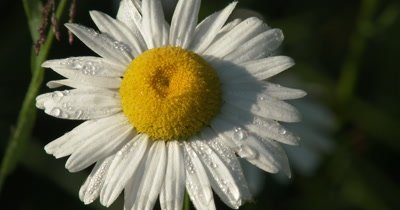 Wild Daisy Flower, Dewdrops on Petals, Darker BG