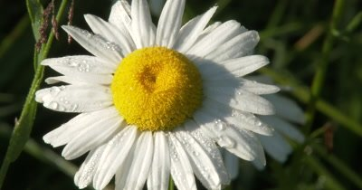 Wild Daisy Flower, Dewdrops on Petals, Sun Lighting BG