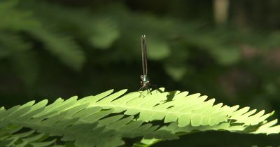 Ebony Jewelwing Damselfly, Male on Ferm Leaf, Looking At Camera