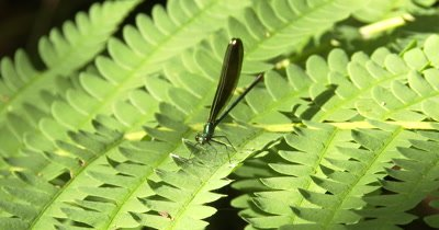 Ebony Jewelwing Damselfly, Male on Fern Leaf, Spiderweb Below, ZI, Exits