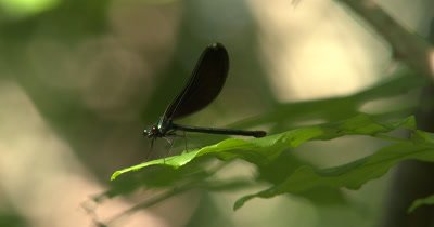 Ebony Jewelwing Damselfly, Male on Green Leaf