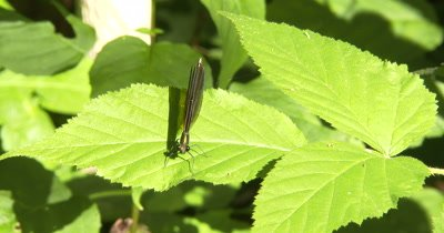Ebony Jewelwing Damselfly, Female on Blackberry Leaf