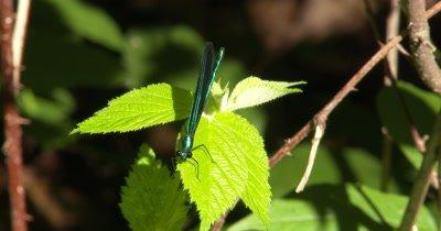 Ebony Jewelwing Damselfly, Male on Blackberry Leaf