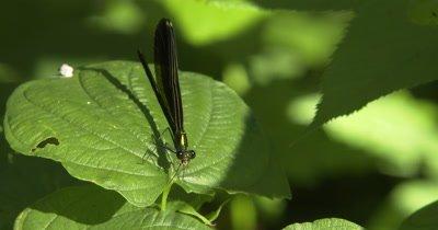 Ebony Jewelwing Damselfly, Feeding, Finishing Off Mosquito