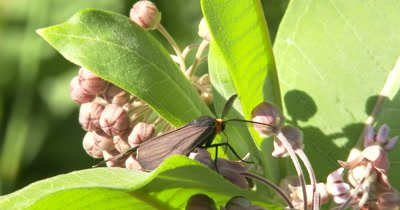 Yellow-collared Scape Moth Feeding On Milkweed Flower