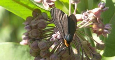 Yellow-collared Scape Moth Feeding On Milkweed Flower, Turns to Exit Bottom of Frame