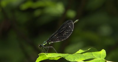 Ebony Jewelwing Damselfly Perched on Edge of Leaf, Watching For Prey