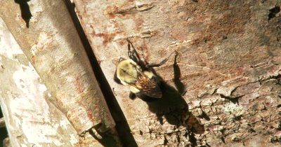 Bumblebee Hanging on Birch Tree, Grooming Face