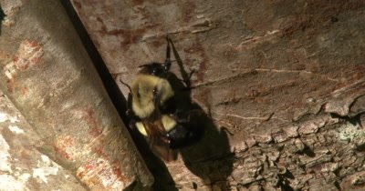 Bumblebee Hanging By One Leg, Vigorously Grooming, Exits