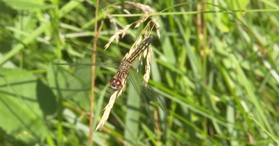 Blue Dasher Dragonfly, Female, Hunting From End of Grass Seed Stalk
