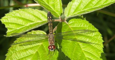 Blue Dasher Dragonfly, Female Dragonfly Hunting, Moving Head, Watching Prey Pass, Exits