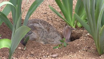 Cottontail Rabbit at Den