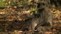 Baby Langur Monkey Nursing