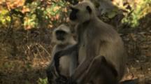 Juvenile Langur Monkey Nursing