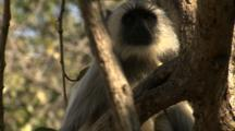 Juvenile Langur Monkey Looking Alert