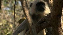 Juvenile Langur Monkey Displays Threat Face