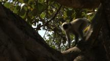 Juvenile Langur Monkeys Jump & Play