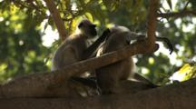 Juvenile Langur Monkeys Groom On Branch
