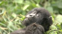 Juvenile Mountain Gorilla Chewing Leaf