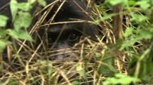 Male Mountain Gorilla Stares Through Brush
