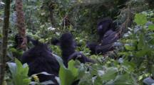 Female Mountain Gorilla Breaks Tree On Head Of Youngsters