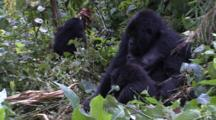 Young Mountain Gorilla Bends Tree To Ground - Funny