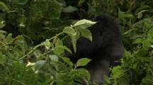 Big Male Mountain Gorilla Stares At Camera