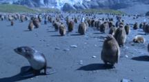 Antarctic Fur Seal Near King Penguin Chicks (Aptenodytes Patagonicus) - Blue Cast To Shot. Gold Harbour. South Georgia