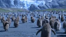 King Penguin Chicks Moulting, One Runs And Calls - Blue Cast To Shot. Glacier Behind