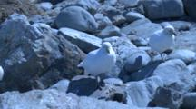 Snowy Sheathbills (Chionis Alba) On Rocks - Blue Cast To Shot. Gold Harbour. South Georgia.
