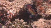 Mandarin Fish Hide On Reef. Pacific