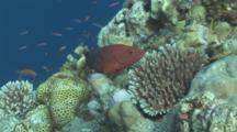 Coral Trout Swims Around Coral Reef. Yap Island, Pacific