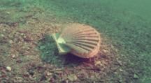 Scallop Escapes By Swimming Away Over Sand Bottom
