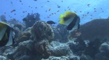 Masked Bannerfish Swim Above Reef