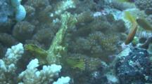Leaf Scorpionfish On Reef