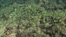 Large School Of Convict Surgeonfish Swims Over Reef. Yap Island, Pacific