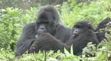 Mountain Gorilla (Gorilla Gorilla Beringei). Endangered. Juvenile Sticks Out Tongue And Adult Male With Family Group. Rwanda. 2010