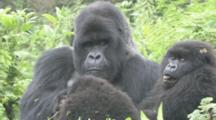 Mountain Gorilla (Gorilla Gorilla Beringei). Endangered. Juvenile Sticks Out Tongue And Adult Male With Family. Rwanda. 2009