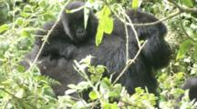 Mountain Gorilla (Gorilla Gorilla Beringei). Endangered. Adult Female Carrying Baby On Back. Rwanda. 2010
