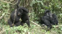 Mountain Gorilla (Gorilla Gorilla Beringei). Endangered. Youngsters Play Fight. Rwanda. 2009
