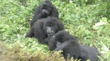 Mountain Gorilla (Gorilla Gorilla Beringei). Endangered. Family Group Grooming. Rwanda. 2009