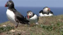 Puffins In Colony On Cliff, Inner Hebrides, Scotland