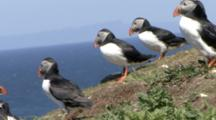 Puffins In Colony On Cliff, One May Be Getting Nesting Material, Inner Hebrides, Scotland