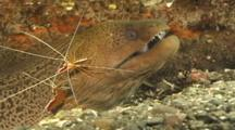 Moray Eel, Probably Giant Moray, Attended By Cleaner Shrimp. Papua New Guinea