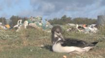 Laysan Albatross Chick (Phoebastria Immutabilis) In Front Of Mound Of Rubbish. Conservation Story - Rubbish. Midway Island. Pacific
