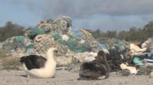 Laysan Albatross Adult And Chick (Phoebastria Immutabilis) In Front Of Mounds Of Rubbish. Conservation Story - Rubbish. Midway Island. Pacific