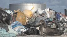 Laysan Albatross Chick (Phoebastria Immutabilis) In Front Of Mounds Of Rubbish. Conservation Story - Rubbish. Midway Island. Pacific
